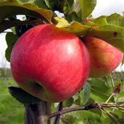 frederik æble