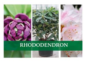 køb Rhododendron online