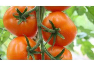 tomater i haven