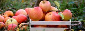 æbletræ til haven