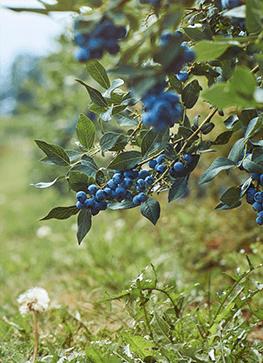 bær i haven