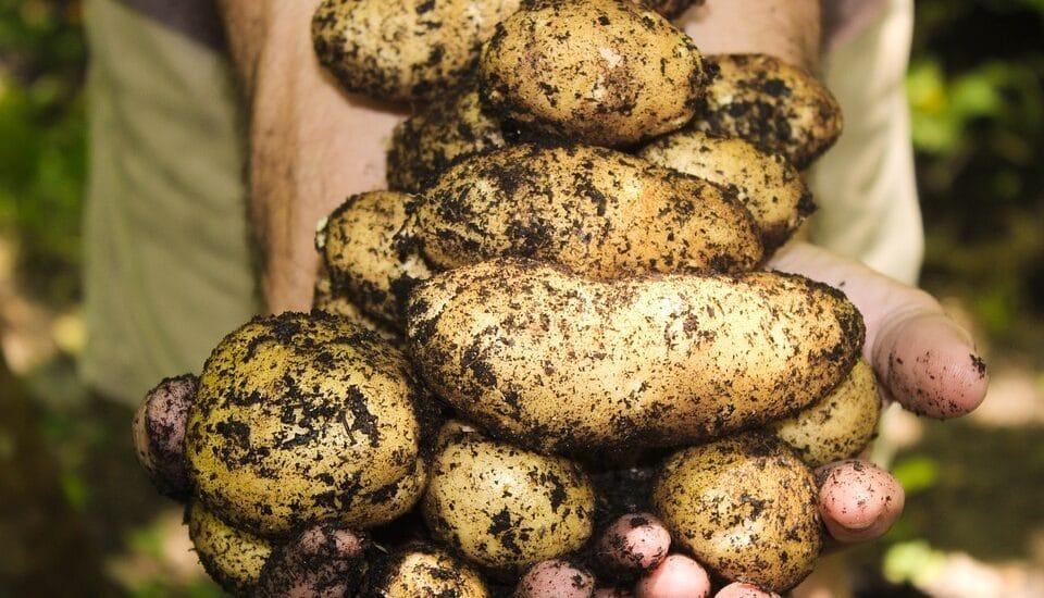 lægge kartofler