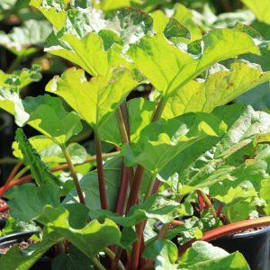 rabarber planter