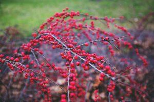 rønnebærtræ