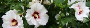 syrisk rose busk